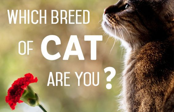 Which Breed of Cat Are You?