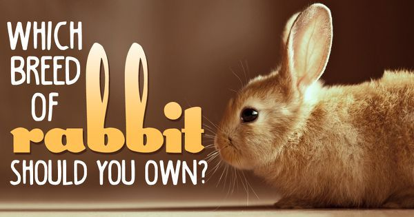 Which Breed Of Rabbit Should You Own?