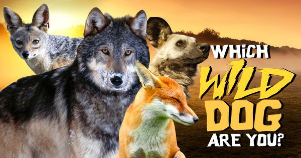 Which Wild Dog Are You?
